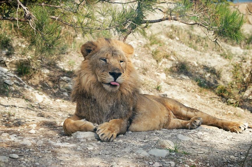 Геленджик, Сафари-парк, лев лежит на камнях в тени дерева, высунув язык © Dmitry29 / Фотобанк Лори