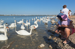 Туристы любуются грациозными лебедями на озере Сасык-Сиваш в городе Евпатория, Крым © Николай Мухорин / Фотобанк Лори