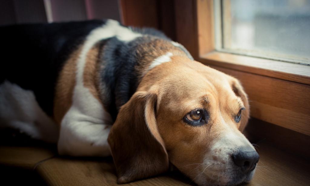 Sad dog on the window sill; Shutterstock ID 383801827